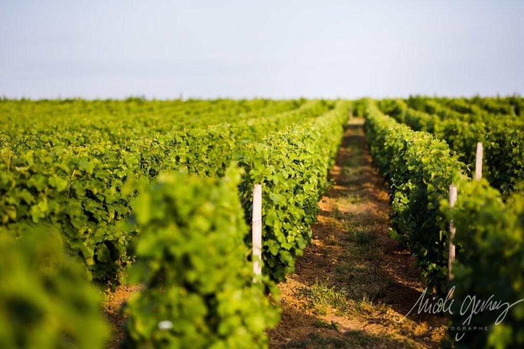 Vignes Pouilly-Fumé